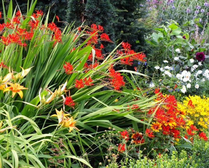 Crocosmia and Daylilies